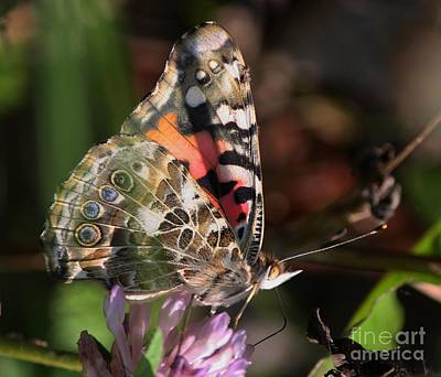 Photograph - Painted Lady Butterfly by Mary-Lee Sanders