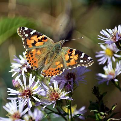 Photograph - Painted Lady Butterfly On Asters by rd Erickson