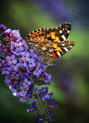 Photograph - Painted Lady Butterfly On Butterfly Bush by Carolyn Derstine