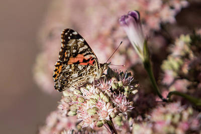 Photograph - Painted Lady Butterfly On Flowering Sedum Matron #2 by Patti Deters