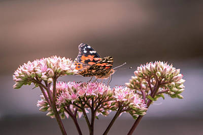 Photograph - Painted Lady Butterfly On Flowering Sedum Matrona #4 by Patti Deters