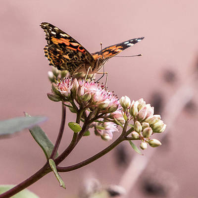 Photograph - Painted Lady Butterfly On Flowering Sedum Matrona #5 by Patti Deters