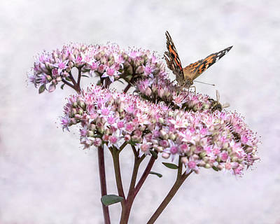 Photograph - Painted Lady Butterfly On Flowering Sedum Matrona #1 by Patti Deters