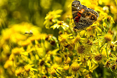 Photograph - Painted Lady Butterfly On Yellow Daisies No. 1 by Belinda Greb