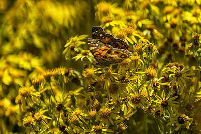 Photograph - Painted Lady Butterfly On Yellow Daisies No. 2 by Belinda Greb