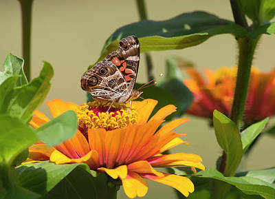 Photograph - Painted Lady Butterfly On Zinnia by Jill Lang