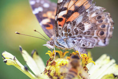 Photograph - Painted Lady Butterfly With Bee Foreground by Brian Hale