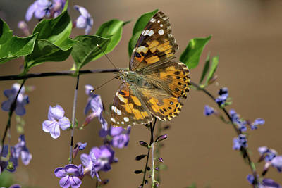 Photograph - Painted Lady by Charlie Alolkoy