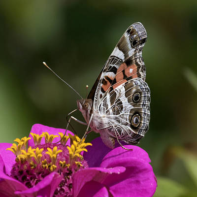 Photograph - Painted Lady by David Lester