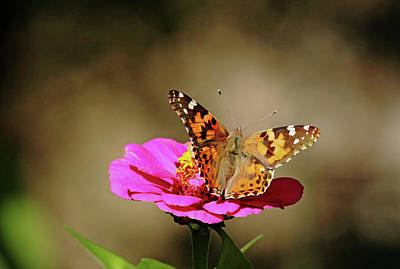 Photograph - Painted Lady by Debbie Oppermann