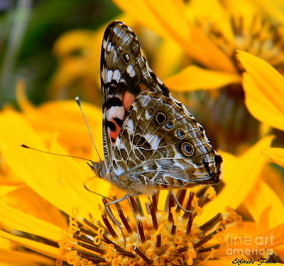 Photograph - Painted Lady by Elfriede Fulda