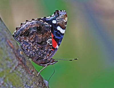 Red Photograph - Painted Lady by Gary Wing