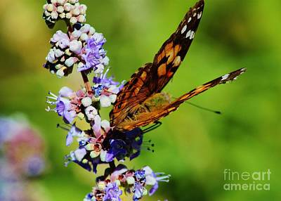 Photograph - Painted Lady II by Marcia Breznay