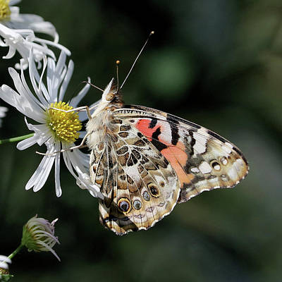 Photograph - Painted Lady In The Sun by Doris Potter