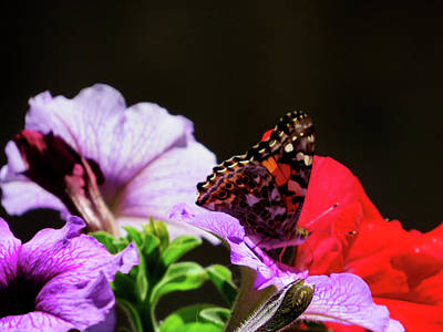 Photograph - Painted Lady by Jacqueline  DiAnne Wasson