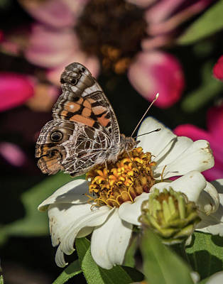 Pineland Farms Photograph - Painted Lady by Jane Luxton