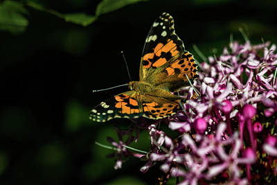 Photograph - Painted Lady by Jay Stockhaus