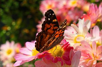 Photograph - Painted Lady by Kathryn Meyer