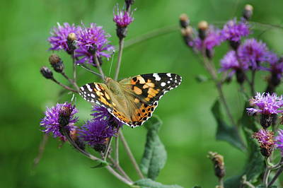 Butterflies Photograph - Painted Lady by Michael Barry