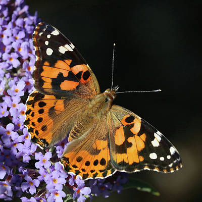 Photograph - Painted Lady Of Montreal by Doris Potter