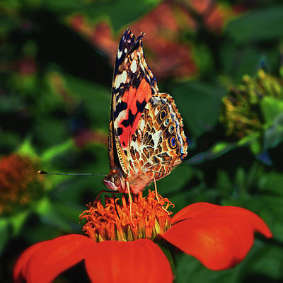 Photograph - Painted Lady On A Mexican Sunflower 001 by George Bostian
