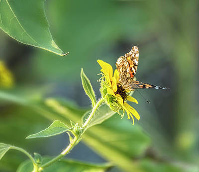 Photograph - Painted Lady On A Sunflower  by Saija Lehtonen