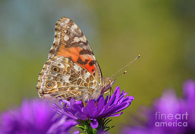 Photograph - Painted Lady On Aster by Cheryl Baxter