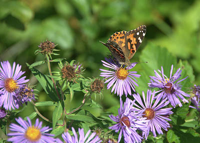 Photograph - Painted Lady On Aster by Valerie Kirkwood