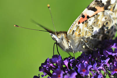 Painted Lady Photograph - Painted Lady On Buddleia Close Up by Andy Smy