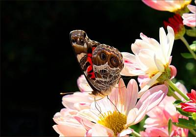 Photograph - Painted Lady On Chrysanthemums by Kathryn Meyer