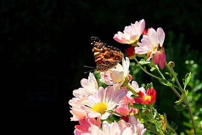 Photograph - Painted Lady On Daisy Mums by Kathryn Meyer