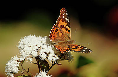 Photograph - Painted Lady On Fuzzy White Flowers by Debbie Oppermann