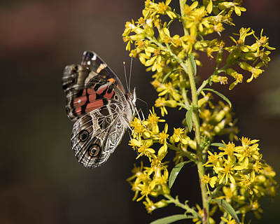 Photograph - Painted Lady On Goldenrod by Robert Potts