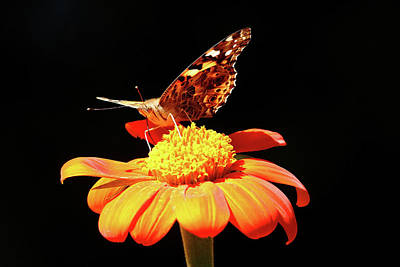 Photograph - Painted Lady On Mexican Sunflower by Debbie Oppermann