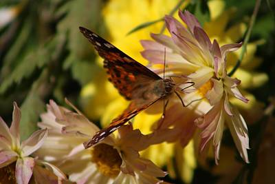Photograph - Painted Lady On Mums by Kathryn Meyer