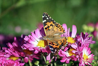 Photograph - Painted Lady On Pink Mums by Karen Adams