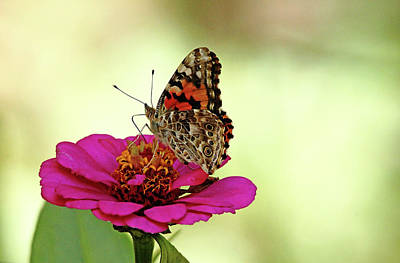 Photograph - Painted Lady On Pink Zinnia by Debbie Oppermann