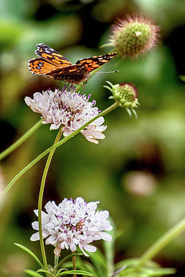 Photograph - Painted Lady On Robinson Crusoe Island by John Haldane