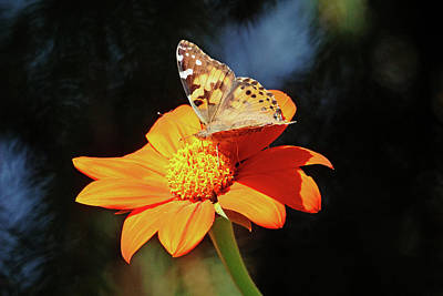 Photograph - Painted Lady On Tithonia by Debbie Oppermann