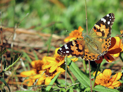 Photograph - Painted Lady On Zinnia by Jayne Wilson
