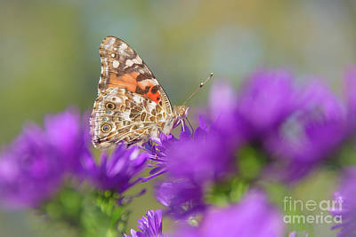 Photograph - Painted Lady Perfection by Cheryl Baxter