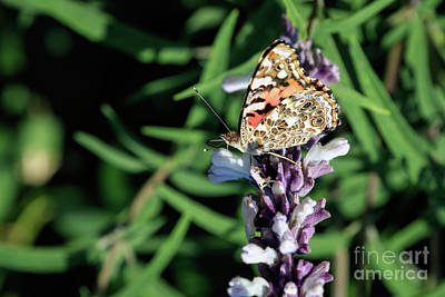Photograph - Painted Lady by Richard Smith