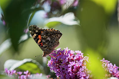 Photograph - Painted Lady by Robert Potts