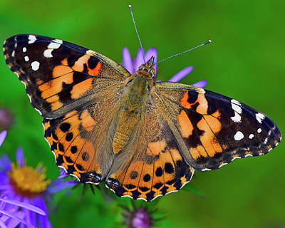 Photograph - Painted Lady by Tony Beck