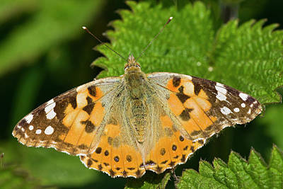 Painted Lady Vanessa Cardui Original