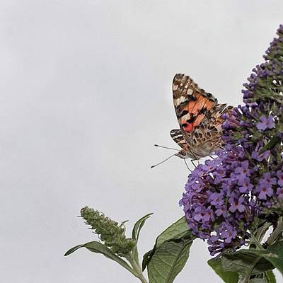 Animal Photograph - Painted Lady (vanessa Cardui) by John Edwards