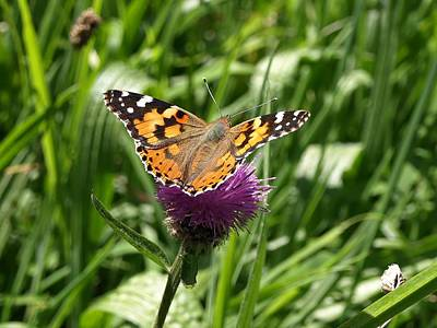 Photograph - Painted Lady Vanessa Cardui by Richard Brookes