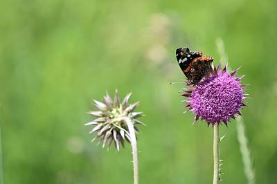 Photograph - Painted On A Thistle by Bonfire Photography
