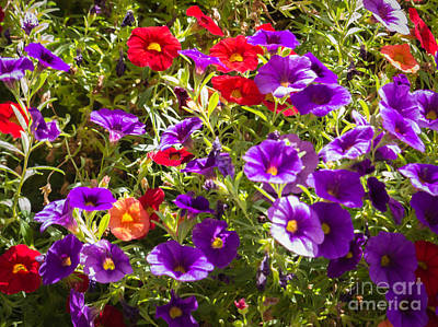 Photograph - Painted Pansies by Bob and Nancy Kendrick