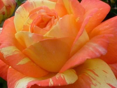 Painted Rose Art Print